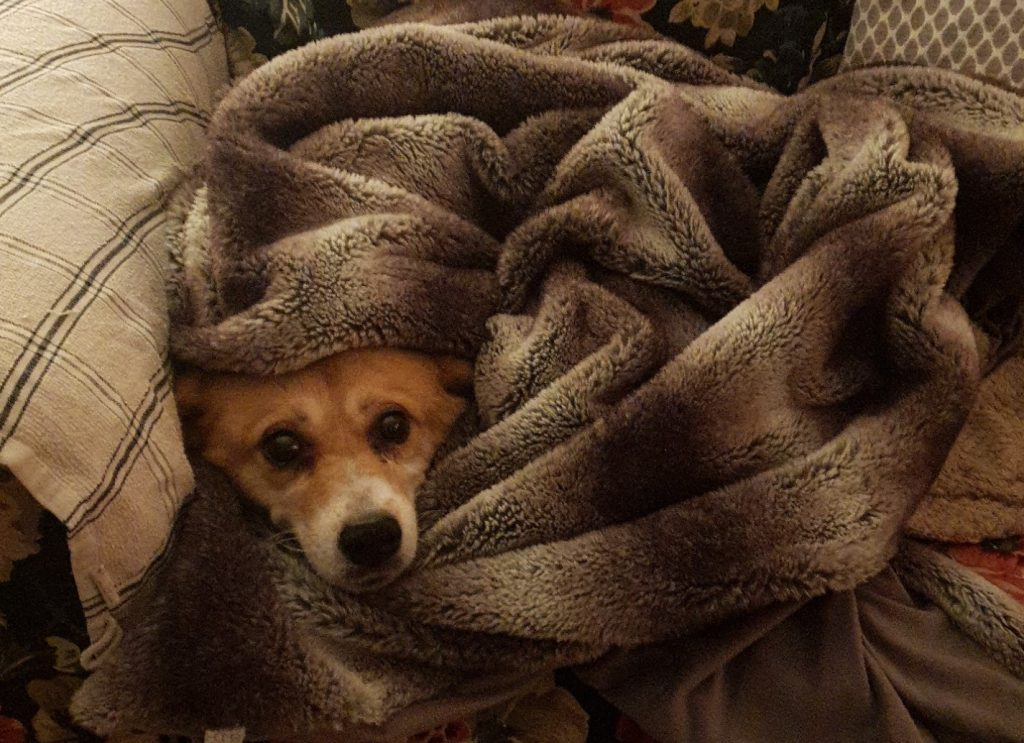 Pippin in a blanket